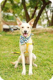 Labrador Retriever/Terrier (Unknown Type, Medium) Mix Puppy for adoption in San Mateo, California - Spain