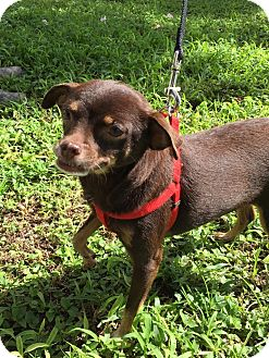 Chihuahua Mix Dog for adoption in Key Biscayne, Florida - Estrellita