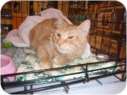 Domestic Longhair Cat for adoption in Loudonville, New York - Kauru
