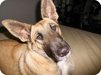 Belgian Malinois/German Shepherd Dog Mix Dog for adoption in El Cajon, California - COYOTE
