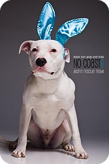 American Bulldog/American Pit Bull Terrier Mix Dog for adoption in Louisville, Kentucky - Taco