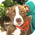 Pit Bull Terrier Mix Dog for adoption in Mission Viejo, California - Missy