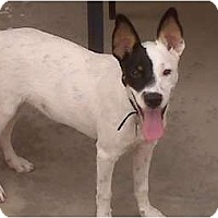 Adopt A Pet :: Eddie in Midland - Midland, TX