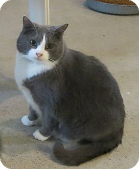 Domestic Shorthair Cat for adoption in Geneseo, Illinois - Simon