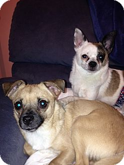 Chihuahua/Pomeranian Mix Dog for adoption in Sandown, New Hampshire - Annie (NH) & Oliver