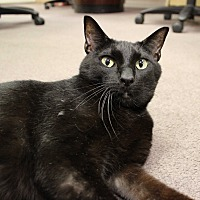 Domestic Shorthair Cat for adoption in Carlisle, Pennsylvania - Sammy