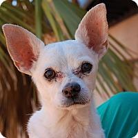Chihuahua Mix Dog for adoption in Las Vegas, Nevada - Salvador