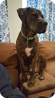 Boxer Mix Dog for adoption in Kirkland, Washington - Ranger