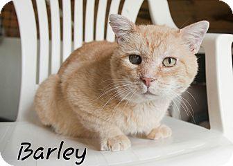 Domestic Shorthair Cat for adoption in Waynesville, North Carolina - Barley
