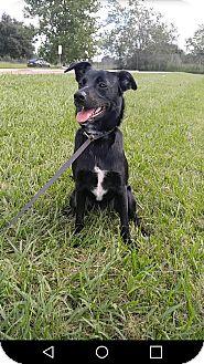 Labrador Retriever/Border Collie Mix Puppy for adoption in Raleigh, North Carolina - A - JASMINE