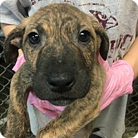 Adopt A Pet :: Emily's Puppies - Pompton Lakes, NJ