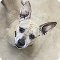 Adopt A Pet :: Bailey 6 - FEE SPONSORED BY BARKWORTHIES! - Chicago, IL