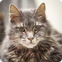 Adopt A Pet :: Gorgeous - St Helena, CA