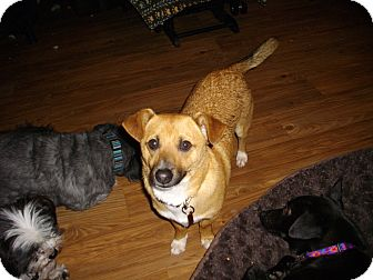 Dachshund/Chihuahua Mix Dog for adoption in Sheridan, Oregon - Lord Sean Wigglebuns