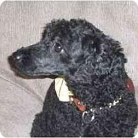 Adopt A Pet :: Simon - Rigaud, QC