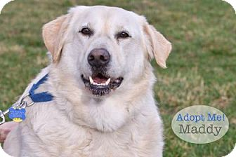 Labrador Retriever Mix Dog for adoption in West Des Moines, Iowa - Maddy