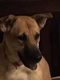 Golden Retriever/Chow Chow Mix Dog for adoption in Houston, Texas - Tana
