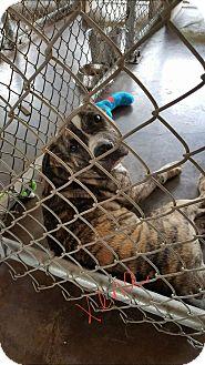 Pit Bull Terrier Mix Dog for adoption in Livingston Parish, Louisiana - Xena
