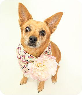 Terrier (Unknown Type, Small)/Chihuahua Mix Dog for adoption in Phoenix, Arizona - Pretty