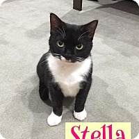 Adopt A Pet :: Stella - Land O Lakes, FL