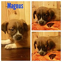 Black Mouth Cur Mix Puppy for adoption in New Milford, Connecticut - Magnus
