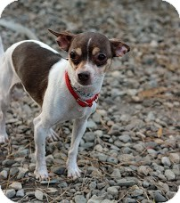 Chihuahua Dog for adoption in Tinton Falls, New Jersey - Cracker