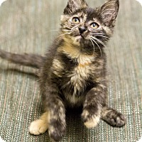 Adopt A Pet :: Shayli - Chicago, IL