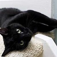 Domestic Shorthair Cat for adoption in Bryn Mawr, Pennsylvania - Vlad/Smart, Loves to Talk