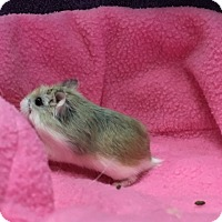 Hamster for adoption in Imperial Beach, California - Clayton