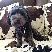 Adopt A Pet :: Zoey - Sharonville, OH