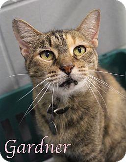 Domestic Shorthair Cat for adoption in Bradenton, Florida - Gardner