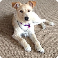 Adopt A Pet :: Scruffy - CHESTERFIELD, MI