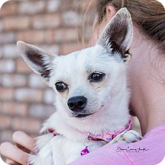 Chihuahua Mix Dog for adoption in San Marcos, California - Clover