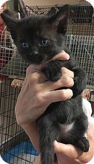 Domestic Shorthair Kitten for adoption in Loogootee, Indiana - Elsa