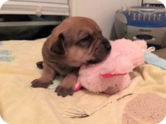 Labrador Retriever/Beagle Mix Puppy for adoption in Gallatin, Tennessee - Maple