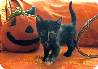 Domestic Shorthair Kitten for adoption in Los Angeles, California - Lily the Adventurer