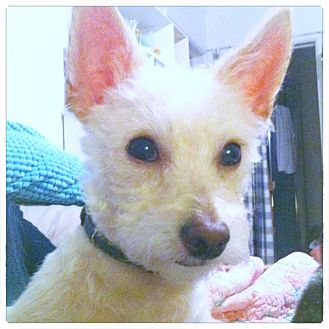 Terrier (Unknown Type, Small) Mix Dog for adoption in Mission Viejo, California - POPPY