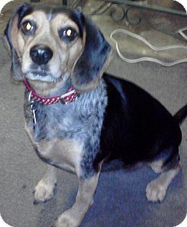Beagle Dog for adoption in Houston, Texas - Brin