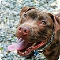 Adopt A Pet :: Choco - Tinton Falls, NJ
