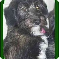 Adopt A Pet :: ScruffyPENDING - Toronto/Etobicoke/GTA, ON