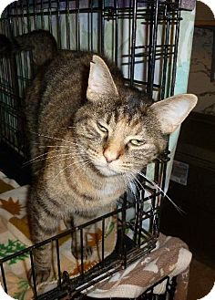 Domestic Shorthair Cat for adoption in Westville, Indiana - Scooter