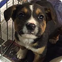 Adopt A Pet :: Paul McCartney - Woodland, CA