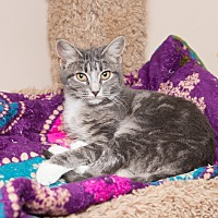 Domestic Shorthair Cat for adoption in Chicago, Illinois - Cupcake