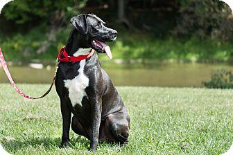 Labrador Retriever Mix Dog for adoption in Homer, New York - Journey