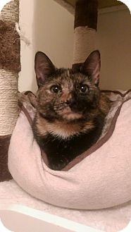 Domestic Shorthair Kitten for adoption in Mount Laurel, New Jersey - Sunflower