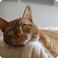 Adopt A Pet :: Josephine - Gaithersburg, MD