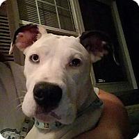 Great Dane Mix Puppy for adoption in Staunton, Virginia - Britt