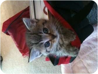 Domestic Shorthair Kitten for adoption in Union, Kentucky - Taca