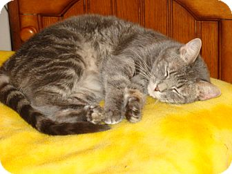 Russian Blue Cat for adoption in Spotsylvania, Virginia - Dani (aka Dani Doodle)