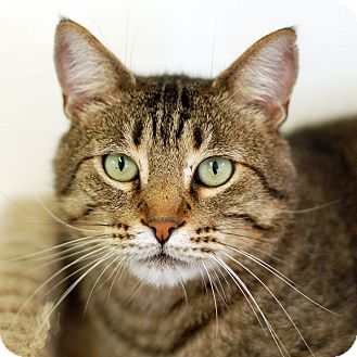 Domestic Shorthair Cat for adoption in El Cajon, California - Little Guy